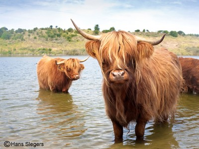 http://www.dreamstime.com/stock-photography-scottisch-highland-cow-image185907