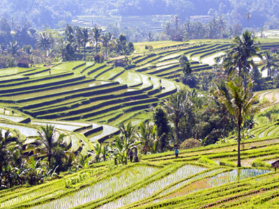 http://www.dreamstime.com/royalty-free-stock-photography-rice-terraces-central-bali-image16031647